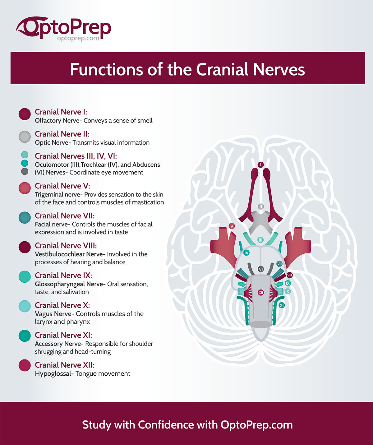 Infographic Functions Of The Cranial Nerves